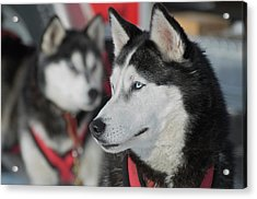 Dog Sled Races Are A Popular Winter Acrylic Print