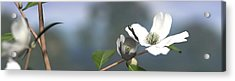 Dogwood Acrylic Print by Cynthia Decker
