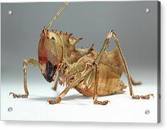 Dragon-headed Katydid Acrylic Print by Tomasz Litwin