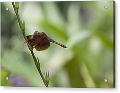 Acrylic Print featuring the photograph Dragonfly by Zoe Ferrie