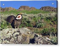 Dusky Grouse, Courtship Display Acrylic Print