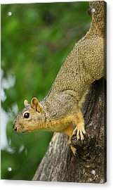 Eastern Fox Squirrel (sciurus Niger Acrylic Print