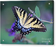 Eastern Tiger Swallowtail Butterfly On Butterfly Bush Acrylic Print