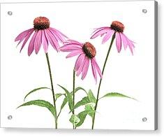 Echinacea Purpurea Flowers Acrylic Print