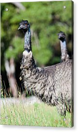 Emu (dromaius Novaehollandiae Acrylic Print