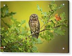 Eurasian Scops Owl Acrylic Print