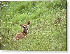Fawn Acrylic Print by Jeannette Hunt