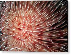 Feather Duster Worm Acrylic Print by Ethan Daniels