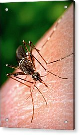 Feeding Mosquito Acrylic Print by Cdc/science Photo Library
