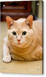 Feline Portrait Acrylic Print