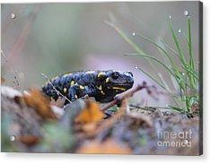Fire Salamander - Salamandra Salamandra Acrylic Print by Jivko Nakev