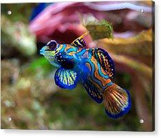 Fish Paintings Acrylic Print by Nicole Gardner