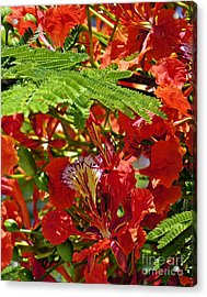 Acrylic Print featuring the photograph Flamboyan by Lilliana Mendez