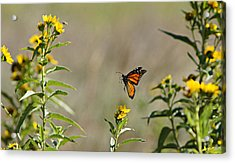 Acrylic Print featuring the photograph Flight Of The Monarch by Thomas Bomstad