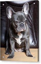 French Bulldog Acrylic Print by Falko Follert