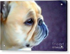 French Bulldog Head Study Acrylic Print by Barbara Chichester