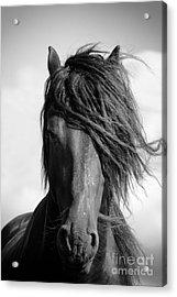 Friesian Stallion. Acrylic Print by Jan Brons