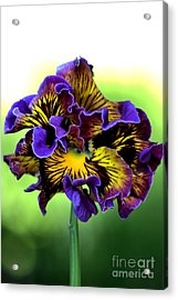 Frilly Pansy Acrylic Print