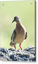 Galapagos Dove Acrylic Print by William H. Mullins