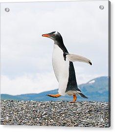Gentoo Penguin Acrylic Print by Konstantin Kalishko