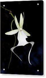 Ghost Orchid In Bloom, Polyrrhiza Acrylic Print by Maresa Pryor