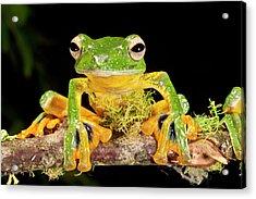 Giant Gliding Treefrog, Polypedates Kio Acrylic Print by David Northcott
