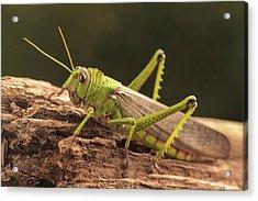 Giant Grasshopper Acrylic Print by Ktsdesign