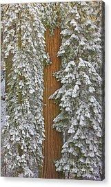 Giant Sequoias And Snow  Acrylic Print