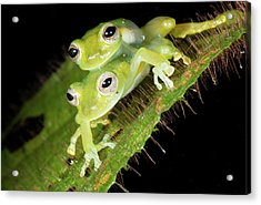 Glass-frogs Mating Acrylic Print by Dr Morley Read
