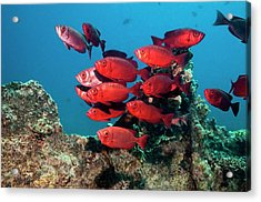 Goggle Eyes On A Reef Acrylic Print by Georgette Douwma