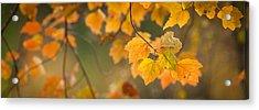 Golden Fall Leaves Acrylic Print