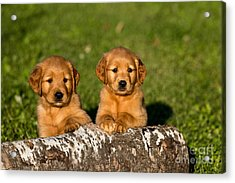 Golden Retriever Puppies Acrylic Print by Linda Freshwaters Arndt