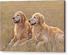 Golden Retrievers In Golden Field Acrylic Print by Jennie Marie Schell