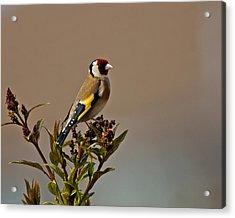 Goldfinch Acrylic Print by Paul Scoullar