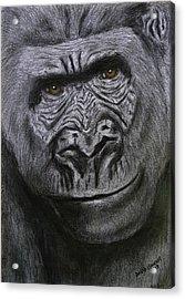 Gorilla Portrait Acrylic Print by David Hawkes