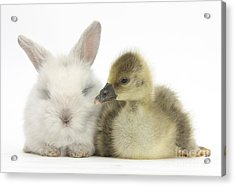 Gosling And Baby Bunny Acrylic Print by Mark Taylor