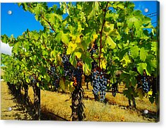 Grapes On The Vine Acrylic Print by Jeff Swan