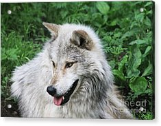 Gray Wolf Acrylic Print by Alyce Taylor