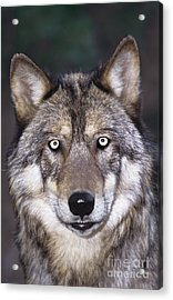 Gray Wolf Portrait Endangered Species Wildlife Rescue Acrylic Print