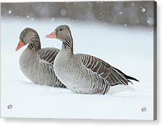 Graylag Goose (anser Anser Acrylic Print by Martin Zwick