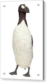 Great Auk Acrylic Print by Natural History Museum, London