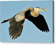 Great Blue Heron In Flight Acrylic Print by Paulette Thomas