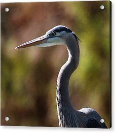 Acrylic Print featuring the photograph Great Blue Heron by Joseph G Holland