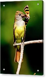 Great Crested Flycatcher Myiarchus Acrylic Print