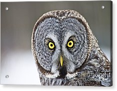 Great Gray Owl Portrait Acrylic Print by Michael Cummings
