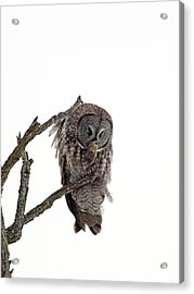 Great Grey Owl  Acrylic Print by William Cooke