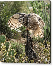 Great Horned Owl Acrylic Print by Tam Ryan