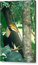 Great Pied Hornbill Acrylic Print by Art Wolfe