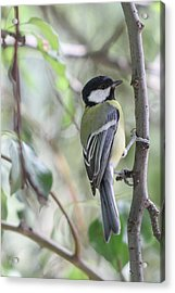 Acrylic Print featuring the photograph Great Tit - Parus Major by Jivko Nakev