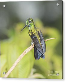 Green-crowned Brilliant Hummingbird Acrylic Print